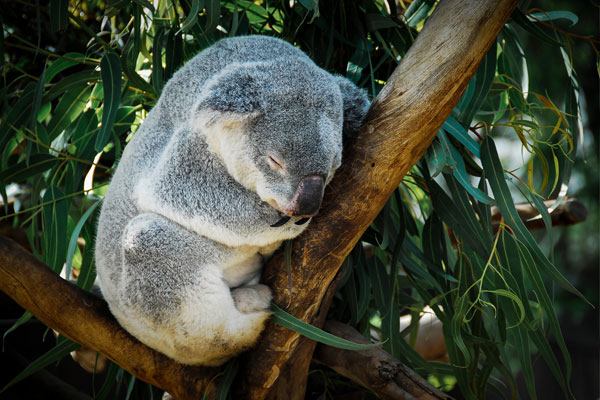 留学先オーストラリアのコアラ